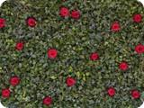 Efeu mit Rosen